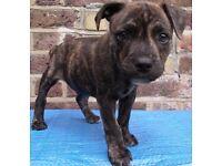 Puppy. Staff. Staffordshire Bull Terrier. 9 Weeks. Blue Gene