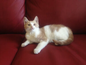 Free. Last baby available: cream and white cute and playful boy!