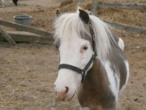 """AMHR 32"""" Exposed Miniature Pinto Mare"""