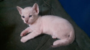 Blue Lynx Point Siamese Kittens 3 weeks old now