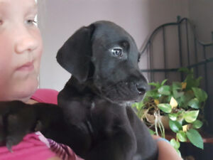 Gorgeous Great Danes Puppies...REDUCED PRICE..