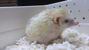 Hedgehogs for sale!!
