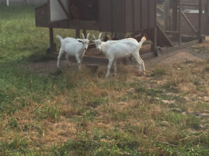 2 young billy goats for sale