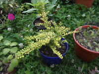 Plant for sale-Lonicera Nitida `Baggesen's gold' plant in 16 cm purple pot