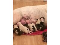 Old time American bull dog pups for sale 300 pound fist to see will buy ready in 5 weeks