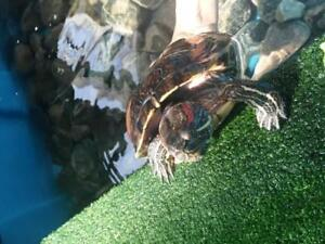 "Adult Female Scales, Fins & Other - Red-Eared Slider: ""Liz"""