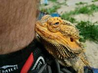 Male bearded dragon and set up