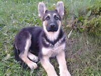 shepherd puppy boy