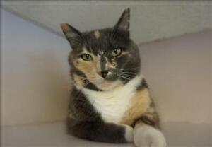 "Adult Female Cat - Domestic Short Hair: ""Lucy"""