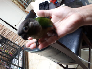 Hand feed and tame baby green Cheek Conure
