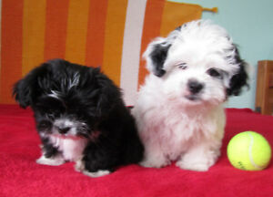 Gorgeous litter of Shih-Tzu puppies ready for their new homes.