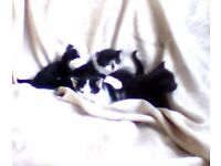 kittens texudo white black cute