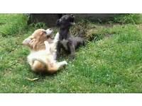 Lurcher puppy's