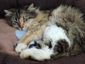 "Adult Female Cat - Domestic Long Hair: ""Tesla"""