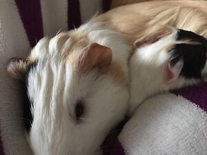 Mother and daughter Guinea pigs for sale!