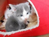 Beautiful kittens 9 weeks Old Cuddly Furry