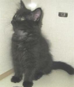 "Baby Male Cat - Domestic Medium Hair: ""Jinx"""