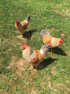 Free Roosters