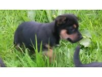 jack russell black and tan pups
