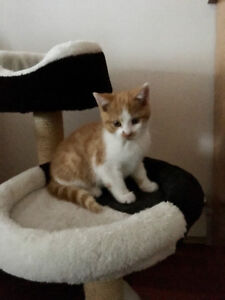 Free kitten to rehome