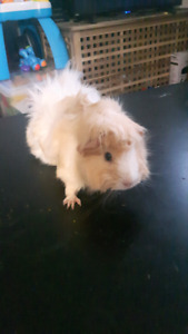 3 guinea pigs with everything.  Sell or trade!! PRICE REDUCED!!