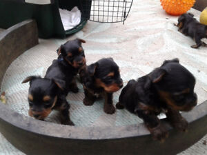 Purebred Yorkie Puppies for Sale