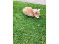 Lion head rabbit doe very tame loves kids in need of good home