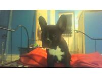 Georgus Female French Bulldog Puppy Full Pedigree £1299