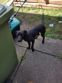 Black Male bull greyhound cross 6month old