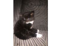 Beautiful black and white kittens for sale