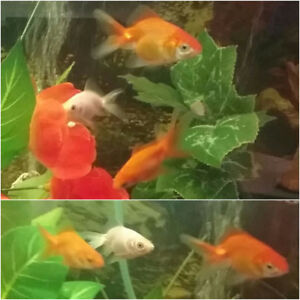 Fancy Goldfish $7 each or all 4 for $18