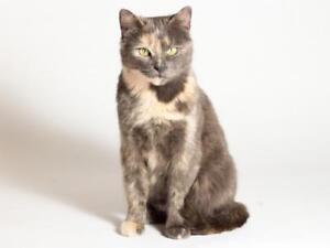 "Adult Female Cat - Domestic Short Hair: ""Bailey"""