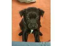patterdale x jack russell patterdale puppies