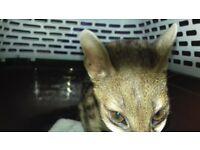 male genet cat 5 months old similar markings to bengal / ocelot