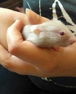 "Baby Female Small & Furry - Hamster: ""Cupcake"""