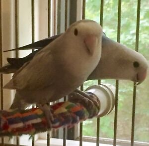 2 Lovebirds w large cage