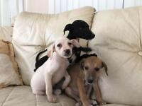 Colliexwhippet pups