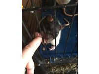 Two rats free to good home