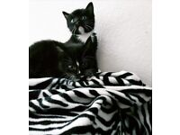 2 black and white kittens for sale