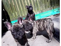 KC french bulldogs puppy`s for sale in loving home