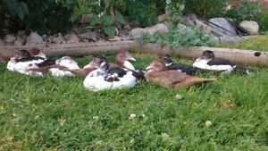 Muskovy ducks