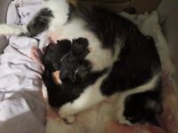 kittens ready in 7 weeks you can come see now with mum cat