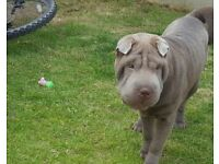 8month old sharpei puppy for sale