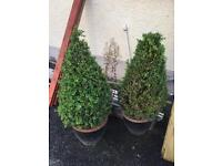 Two large Buxus trees with black pots
