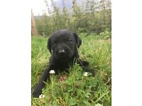 Labrador puppies for sale!