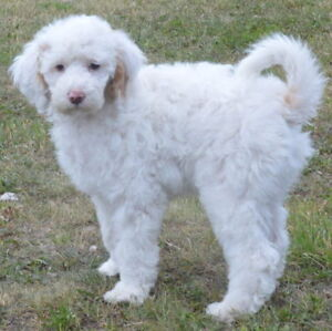 REGISTERED White/red Standard Poodle pups GIVEAWAY PRICE