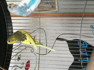 2 Budgies with Cage, Food, & Toys