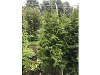 10 X 5-6 Ft Thuja Plicata Conifers