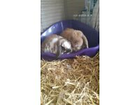 2 lovely rabbits frendily with children and litter trained