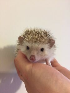8 Weeks Old Male Hedgehog